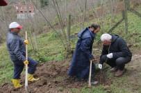 Trabzon'da 7 Bin Fındık Fidanı Tek Gövdeli Dikildi