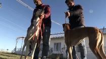 AV KÖPEĞİ - Avcıların Tazıları Şanlıurfa'da Yetiştiriliyor