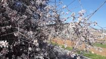 MEHMET DOĞAN - Gaziantep'te Badem Ağaçları Çiçek Açtı