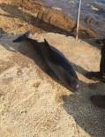 Gemlik Sahiline Ölü Yunus Vurdu