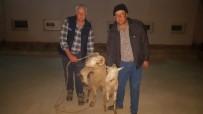 POLİS KARAKOLU - Çalınan Koyunlar Buca'da Bulundu