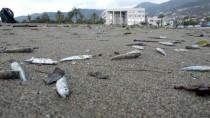 YILDIRIM DÜŞMESİ - Antalya'da Sahile Çok Sayıda Ölü Balık Vurdu