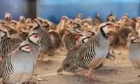 Kınalı Keklikler Doğanın Korunmasına Yardımcı Oluyor
