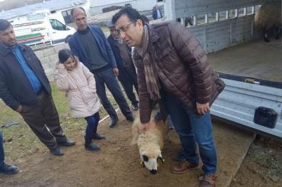 Siirtli Genç Çiftçilere 306 Adet Küçükbaş Hayvan Dağıtıldı