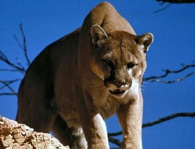 Kendisine saldıran dağ aslanını boğarak öldürdü!