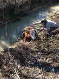 Dereye Batan İneği Köylüler Traktör Yardımıyla Kurtardı