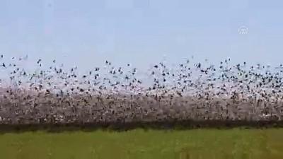 Sığırcık kuşlarından Mardin'de görsel şölen