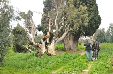 Arıları kovmak için 700 yıllık ağaçları yakıp, kestiler