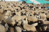 Tunceli'de Koyun Ve Kuzuların Renkli Buluşması