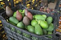POTASYUM - Türkiye'nin Avokadosu Antalya'da Yetişiyor