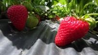 ALANYURT - Aksaray'da Organik Çilek Yetişecek