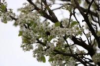 ALİ ŞENER - Ağaçların Erken Çiçek Açmasına Bordo Bulamaçlı Önlem
