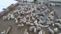 Koyun Ve Kuzuların Duygusal Buluşması Sürüyor