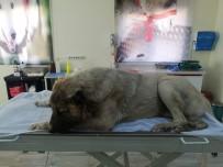 Vücuduna 150 Saçma İsabet Eden Köpek, Yaşama Tutunmaya Çalışıyor
