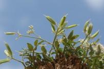 MUSTAFA KEMAL ÜNIVERSITESI - Hizan'da Yeni Bir Bitki Türü Keşfedildi