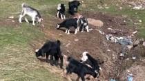 Bingöllü Çobana 'Koyunlarla İmtihanı' Ün Getirdi
