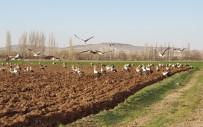 (Özel) Binlerce Leylek, Çiftçiye Eşlik Etti