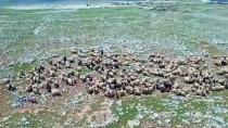HAYVAN PAZARI - Besicinin 'Göz Bebeği' Kuzular Pazara Çıkarıldı