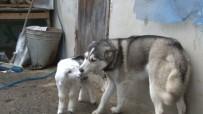 SIBIRYA - Sibirya Kurdu İle Yavru Keçinin Dostluğu