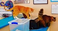 NEW MEXICO - 'Kedi Kafe' İlgi Topluyor
