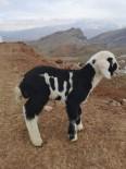 'Allah' Lafzı Yazılı Kuzu Erzincan'da İlgi Odağı Oldu