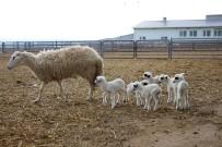 HÜSEYIN YıLMAZ - Koyun Altız Yavruladı