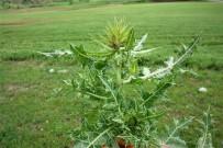 KIŞ MEVSİMİ - (Özel) Yeni Bir Bitki Türü Keşfedildi
