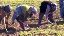 Vali Kocabıyık 8 Mart'ı Tarlada Çalışan Kadın İşçilerle Kutladı