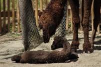 SEMPATIK - (Özel)  Avrupa'nın En Büyük Doğal Yaşam Parkında Doğan Yavru Deve, İlgi Odağı Oldu