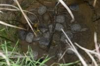 MEHMET AKİF ERSOY - Su Kuyusunda Mahsur Kalan 17 Kaplumbağa Ölmek Üzereyken Kurtarıldı