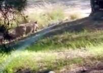 Hayvanat Bahçesinden Kaçan Kurt Böyle Görüntülendi