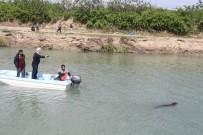 Sütten Yeni Kesilen Yavru Akdeniz Foku, Avlanmak İsterken Kendini Aksu Çayı'nda Buldu