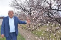 DOLAR - Elbistan'da Çiçek Açan Kayısı Ağaçları Çiftçiyi Umutlandırdı