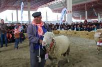 YAKUP YıLDıZ - Burdur'da Defile Gibi Hayvan Güzellik Yarışması