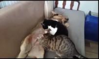 ÇIÇEKLI - (Özel) Anne Köpek Kedileri Emziriyor