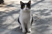 FENOMEN - Patisiyle Kapıyı Açan Kedi Fenomen Oldu