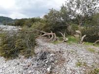 YERKESIK - Akbük Sahilinde Ağaç Katliamı