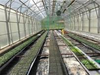 Üniversitede Yerli Tohumla Üretilen, Sebze Fideleri Satışa Çıktı