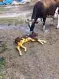 HAREKETSİZLİK - Sezaryen İle Doğum, Sadece İnsanlarda Değil Hayvanlarda Da Giderek Artan Bir Durum