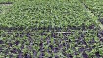 YERLİ TOHUM - Bilecik'ten 40 Ülkeye Hibrit Tohum Gönderiyorlar