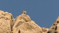 BAKANLAR KURULU - Nesli Tükenme Tehlikesinde Olan Dağ Keçileri Aladağlar'da Görüntülendi