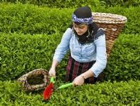 ÇAY ALIMI - Yaş çay alım fiyatı açıklandı