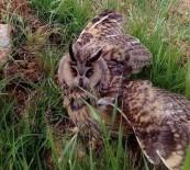 Mazıdağı'nda Nesli Tükenmekte Olan Boynuzlu Baykuş Bulundu