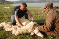 Koyun Kırkma Sezonu Başladı