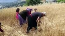 Antalya'da Yılın İlk Buğday Hasadı Başladı
