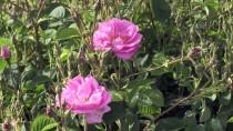 'Güller Diyarı'nda Hasat Zamanı
