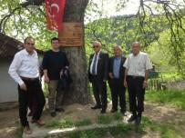 İskilip'te 500 Yıllık Ağaçlar Koruma Altına Alındı