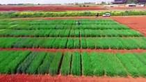 ŞANLIURFA - Tescilli Yerli Buğday Çeşitleri Verimi Artıracak