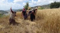 Türkiye'nin İlk Buğday Hasadı Antalya'dan
