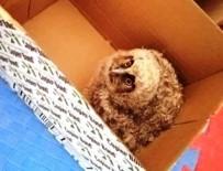 Yavru Peçeli Baykuş Tedavi Altına Alındı